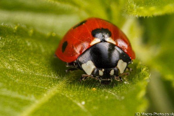 Seven-spot ladybird.