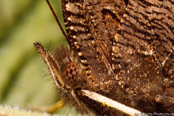 Butterfly at rest - around 2x magnification