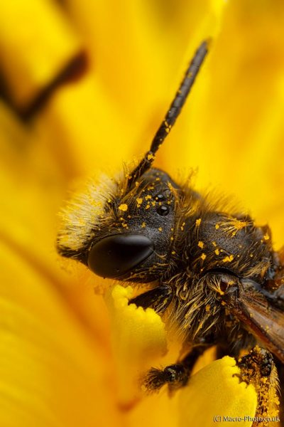 Solitary Mining Bee (about 2x Magnification).