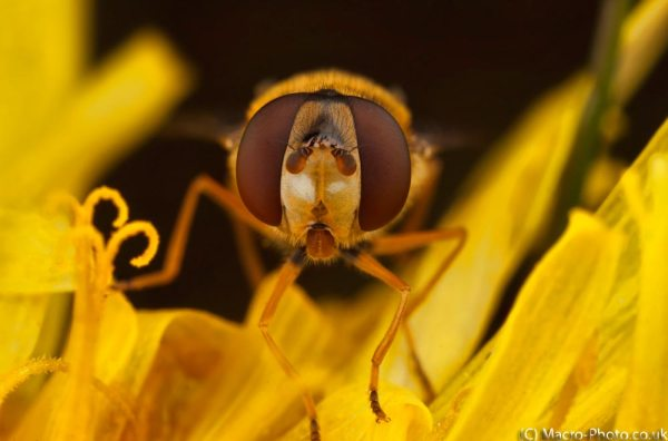 Fly on flower. (around 3x Magnification) 3 Images Stacked.