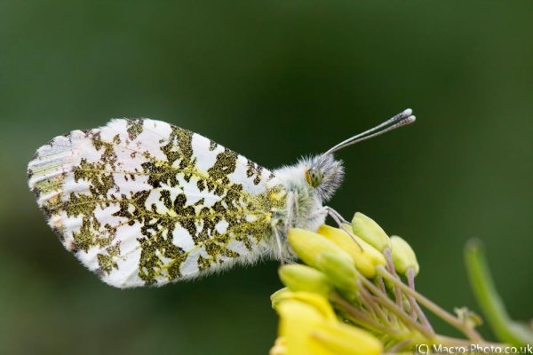 Orange tip underwing