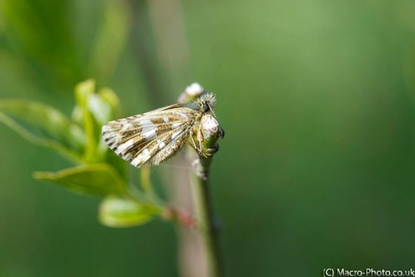 Grizzled Skipper.