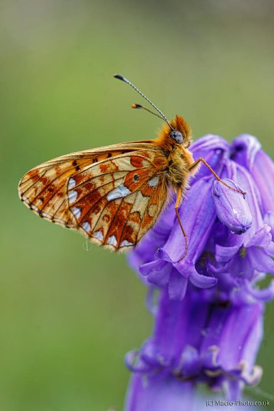Pearl-bordered Fritillary on Bluebells