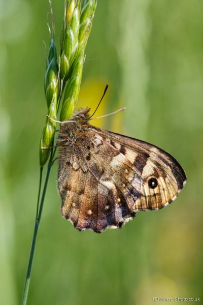 Speckled Wood Portrait
