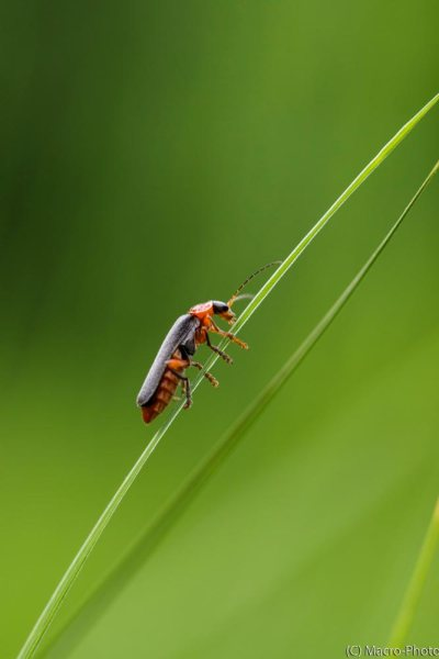 Soldier Beetle on Grass