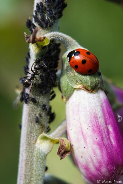 Ant, Aphids and Ladybird
