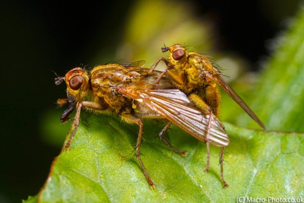Mating Common Yellow Dung Flies.