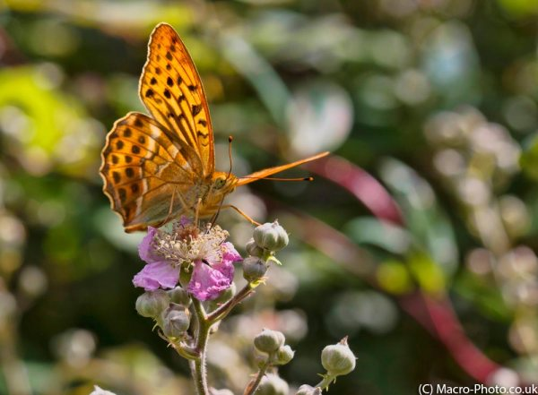 Silver-washed Fritillary on brambles (slight crop).