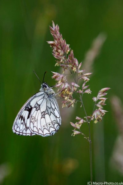 Roosting Marbled White