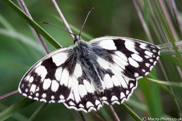 Basking Marbled White