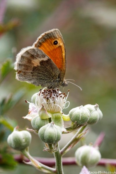Small Heath at Pignal.