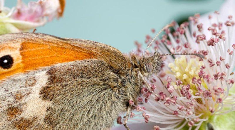 Small Heath nectaring on bramble (Landscape)
