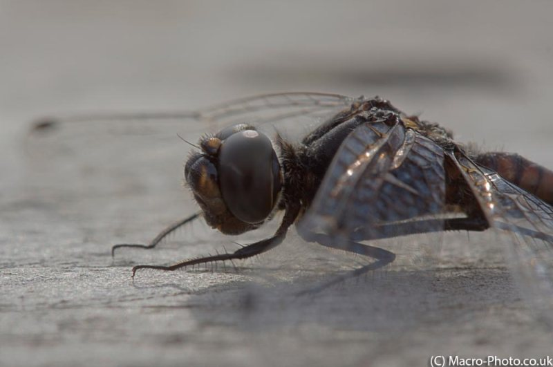 Black Darter - HDR (3 shots fused in Photomatix).
