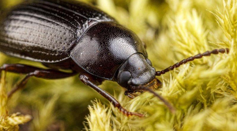 Carabid Beetle - Amara