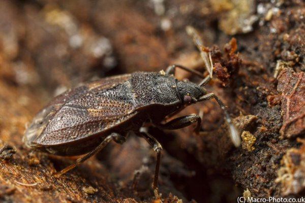 Ground Bug in leaf litter.