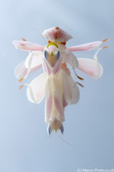 Orchid Mantid Portrait Reflection.