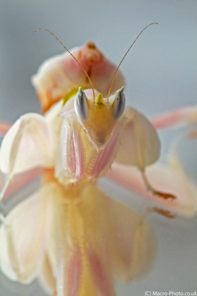 Orchid Mantid.