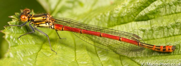 Panorama of a Large Red Damselfly