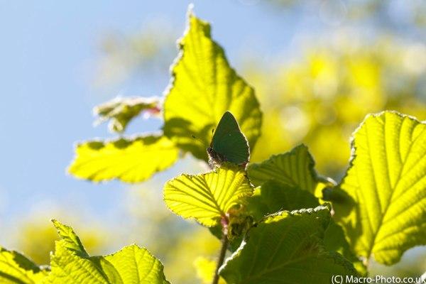 Green Hairstreak in the Tree