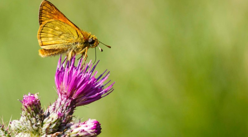 Large Skipper - slight crop