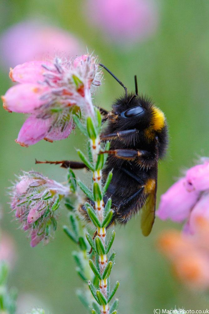 Bumble Bee on Heather(2).