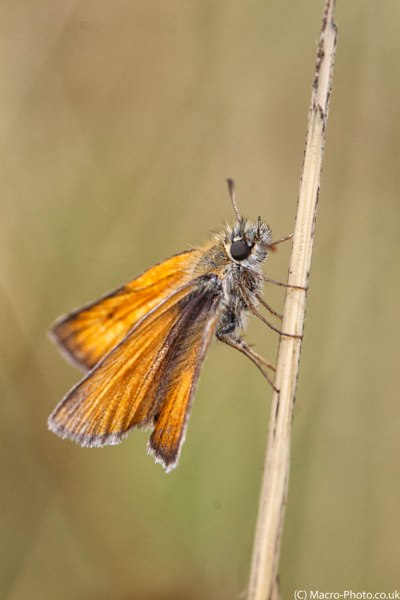 Close up to Small Skipper at roost