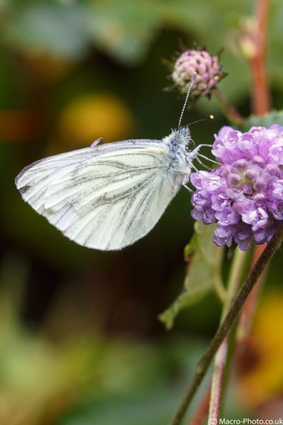 Green-viened White and Fly.