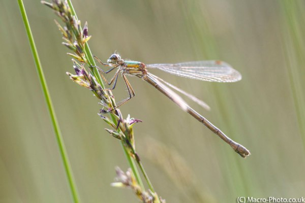 Female Emerald Damselfly.