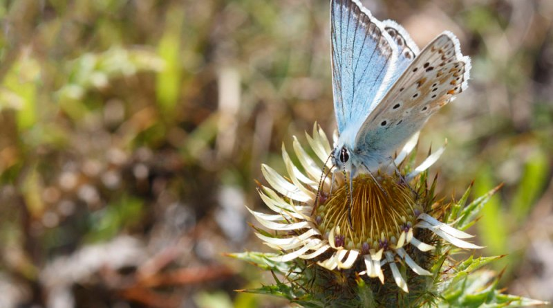Chalkhill blue on Thistle flower