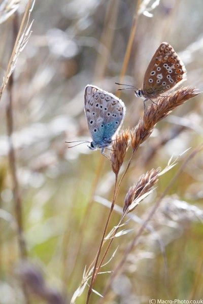Chalkhill Blue Pair on grass stem(2).
