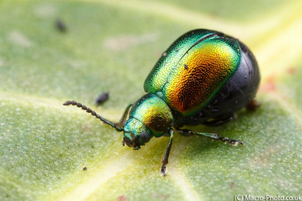 Doc Leaf Beetle at about 2x magnification.