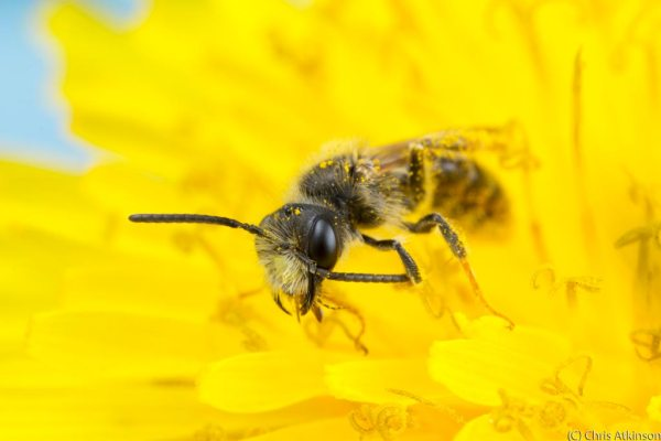 Solitary Bee cleaning off pollen