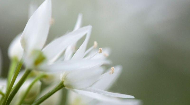 Ramsom flower