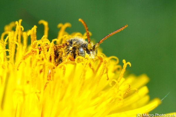 Nomanda Bee in Flower