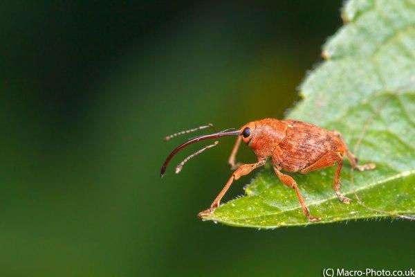 Nut Weevil on leaf