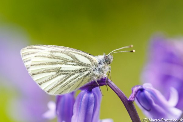 Green-veined White Butterfly(3)