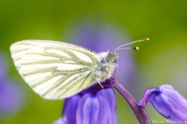 Green-veined White Butterfly(4)