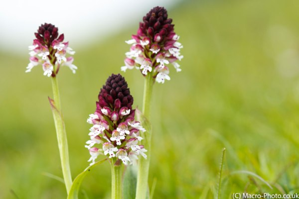 Burnt Tip Orchids