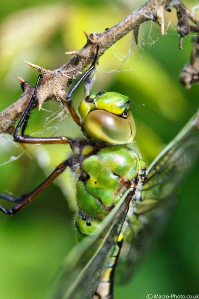 Emperor Dragonfly closer up