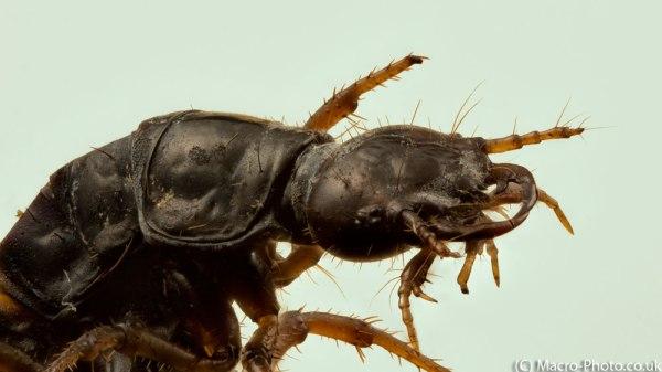 Beetle Lava (Dead) Stack