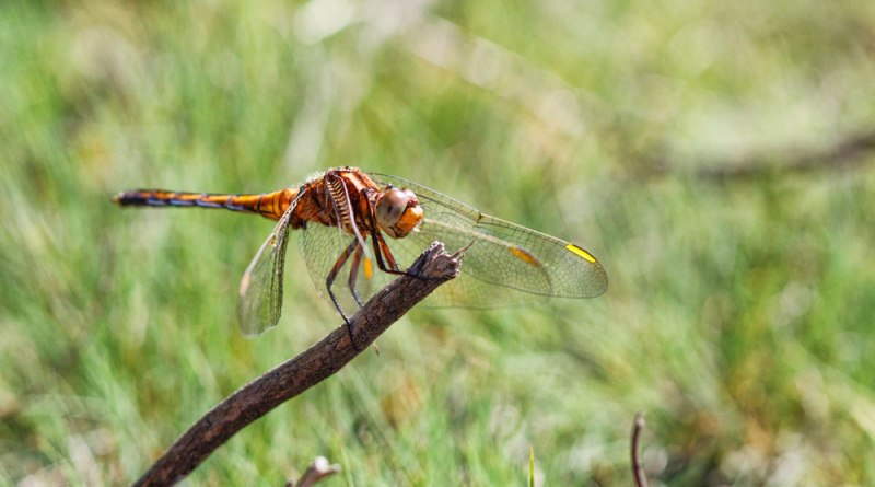 Keeled Skimmer (Small Crop)