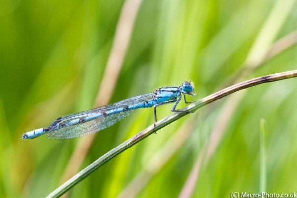 Common Blue Damselfly Blowing his nose
