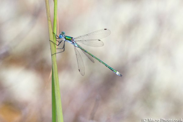 Emerald Damselfly (male) - cropped