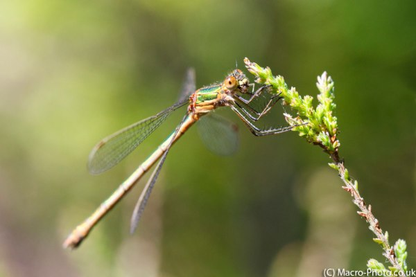 Emerald Damselfly munching - cropped