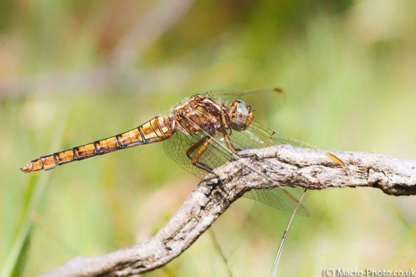 Keeled Skimmer Side On
