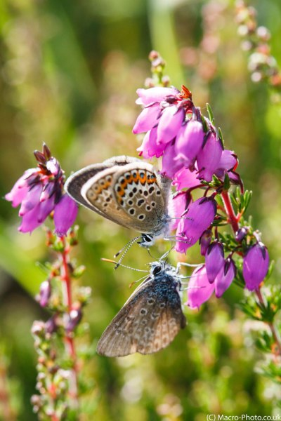 Silver-studded Blues on Heather