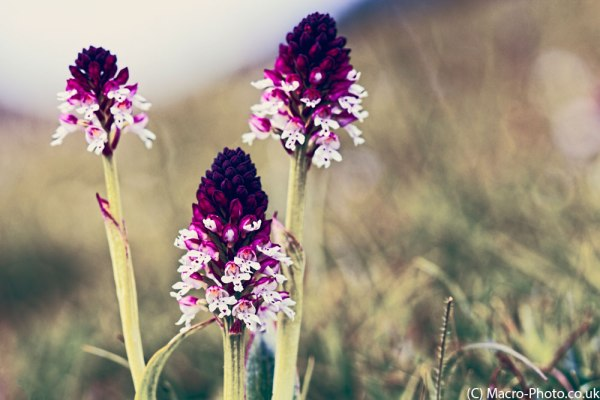 Wild Orchids - Burnt Tip Orchids