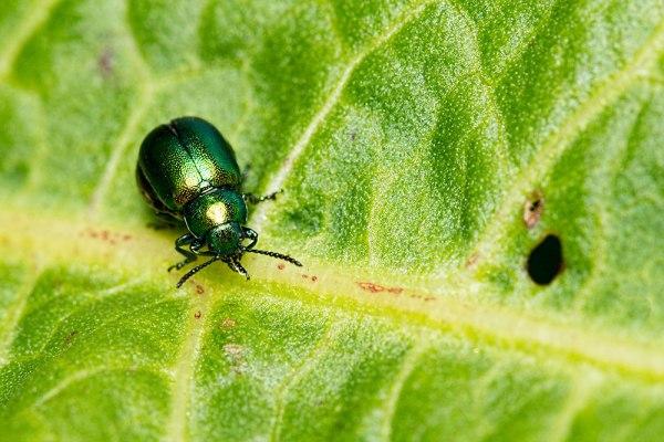Dock Leaf Beetle