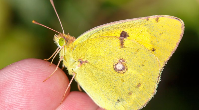 Clouded Yellow on my finger