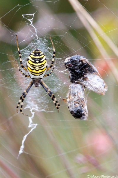 Wasp spider in web and prey